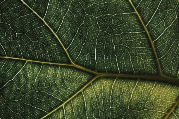 Close Up Macro of Leaf Veins - Fractal Pattern Green Fiddle Fig - Alternate stock photo