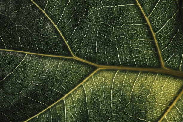 Close Up Macro of Leaf Veins - Fractal Pattern Green Fiddle Fig stock photo