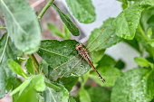 Anisoptera fly or insect called the Dragonfly resting on a green leaf in natural environment