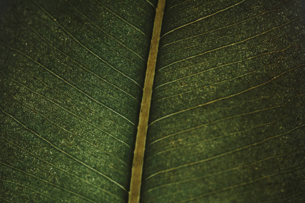 Close up Macro Photo of a Green Leaf - Ficus Plant stock photo