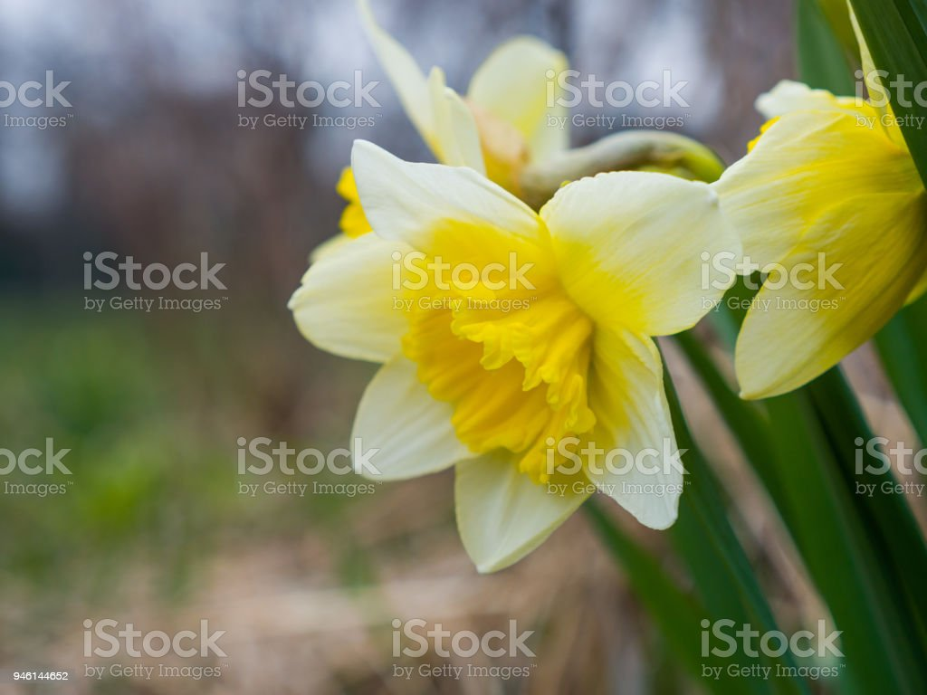 Close Up Macro Photograph Of Gorgeous Yellow Daffodil Perennial