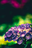 Close up macro photography of beautiful pink or purple colored hydrangea flowers with white centers and green leaves with bright sunlight and harsh dark shadows