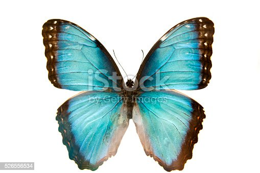 istock close up macro shot of a blue butterfly isolated 526556534