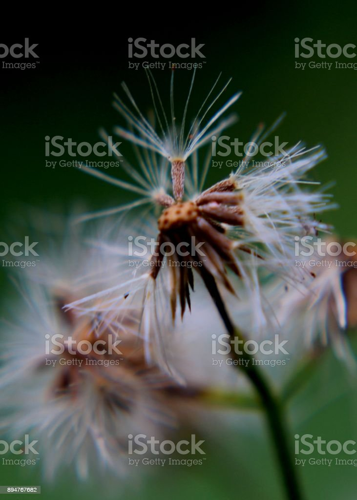 close up - macro view of ironweed - vernonia cinerea - monarakudumbiya weed in a home garden in Sri Lanka stock photo