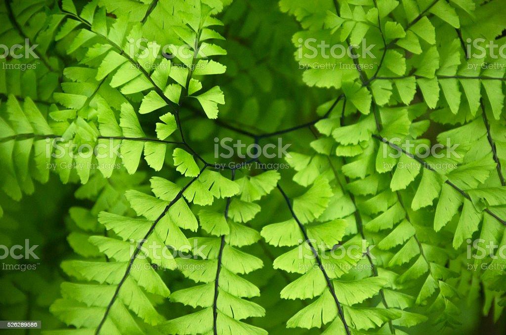 Close Up Maidenhair Fern stock photo