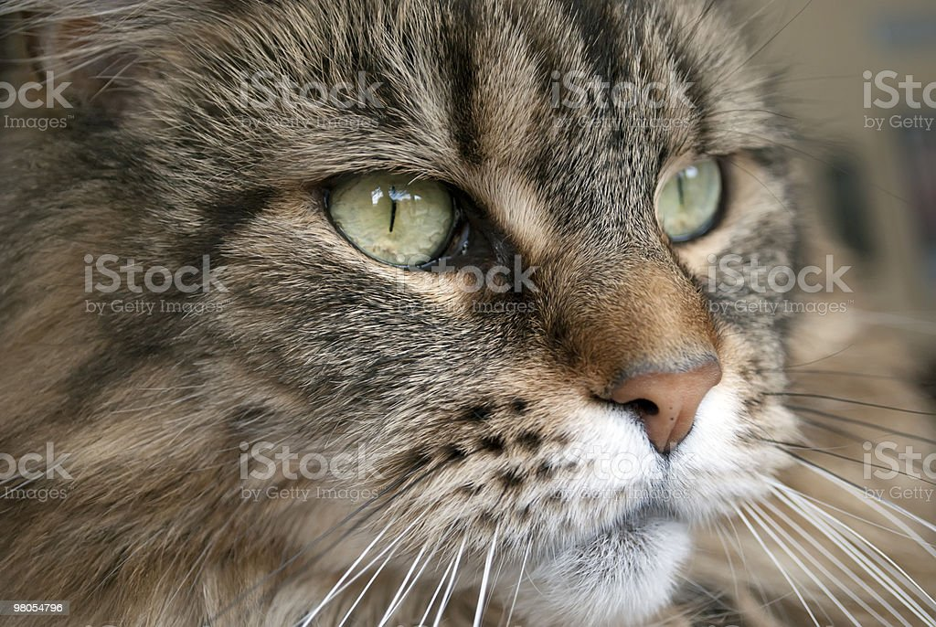 Close up Maine  Coon cat royalty-free stock photo