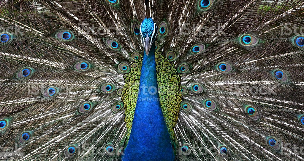 close up male peacock open a mouth horizontal stock photo