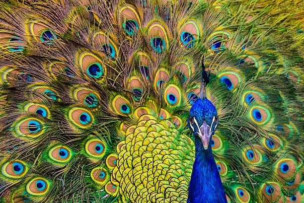 Primer plano, macho de Peacock - foto de stock