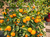Close up mandarin orange in the park at china
