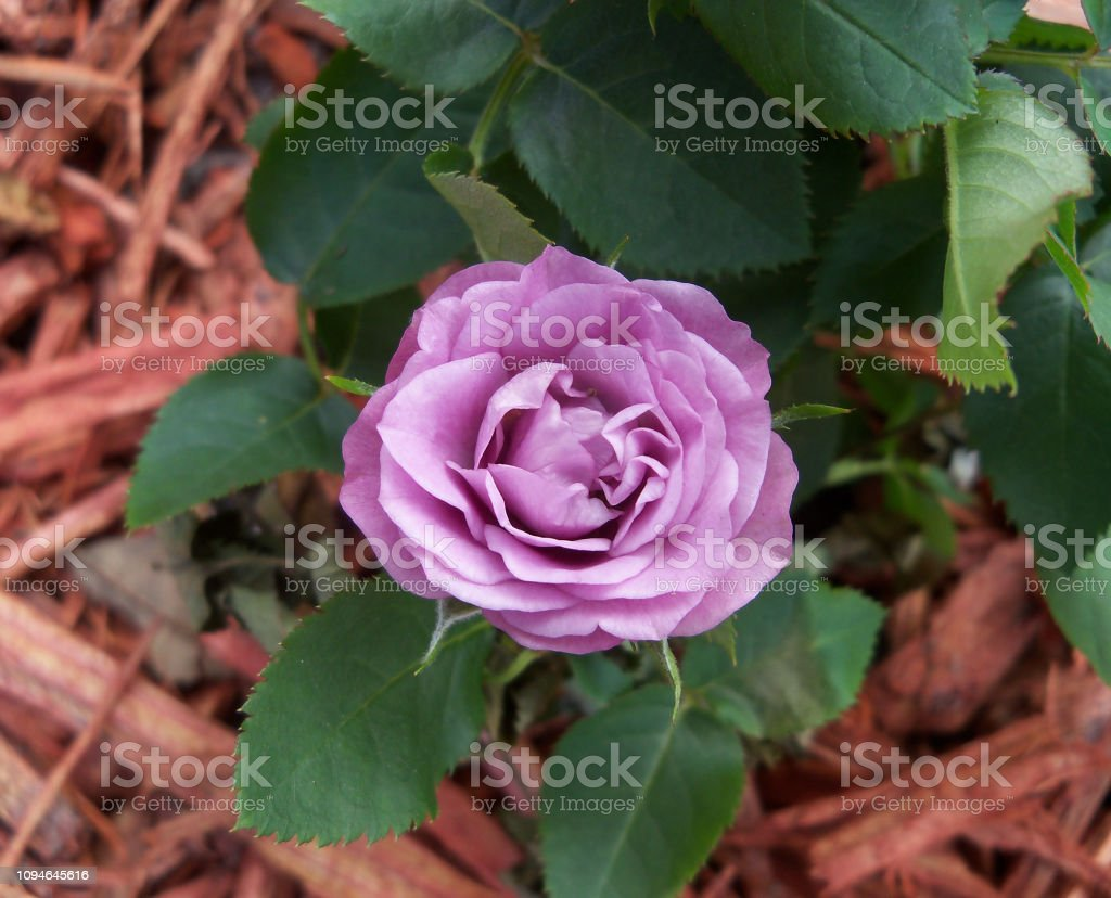 Close up Mauve rose in flowerbed stock photo