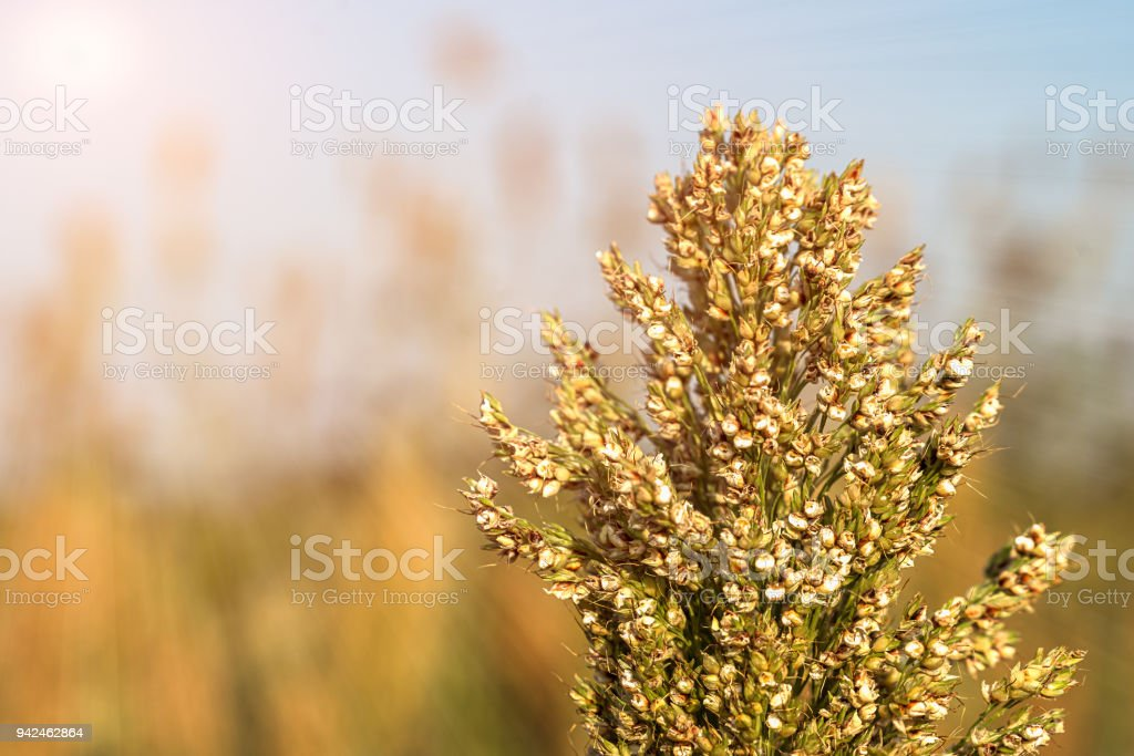 Close up Millet or Sorghum in field of feed for livestock stock photo