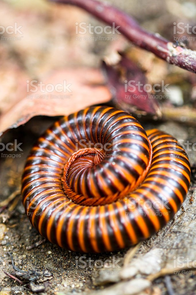 Close up millipede in the spin twist action stock photo