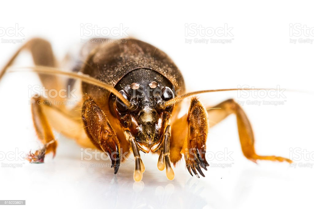 Close up Mole Cricket isolated stock photo