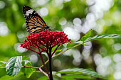 Close up monarch butterfly flying on red flower on nature background in garden spring summer season. Environment with yellow butterfly at outdoor on bokeh background.