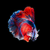 Close up movement of the Siamese fighting fish on black background