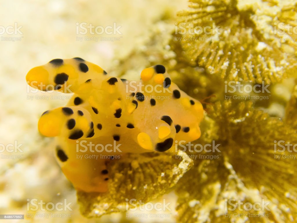 Close up Nudibranch Thecacera sp.  Nature of underwater at Ko Li Pe the island in thailand stock photo