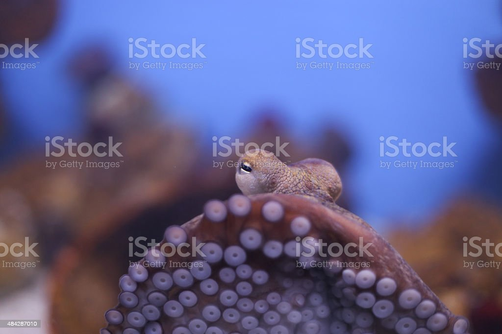 Close up octopus octopus is a cephalopod mollusc of the order Octopoda. It has two eyes and four pairs of arms and, like other cephalopods, it is bilaterally symmetric. 2015 Stock Photo