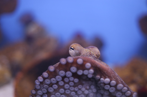 Close Up Octopus Stock Photo - Download Image Now