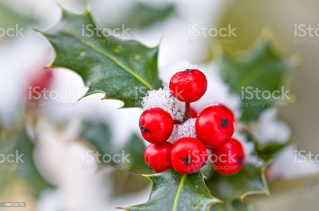 Close up od a branch of holly with red berries stock photo