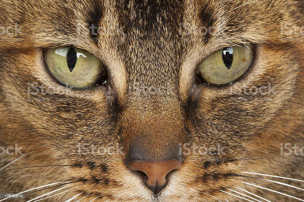close up of a Abyssinian royalty-free stock photo