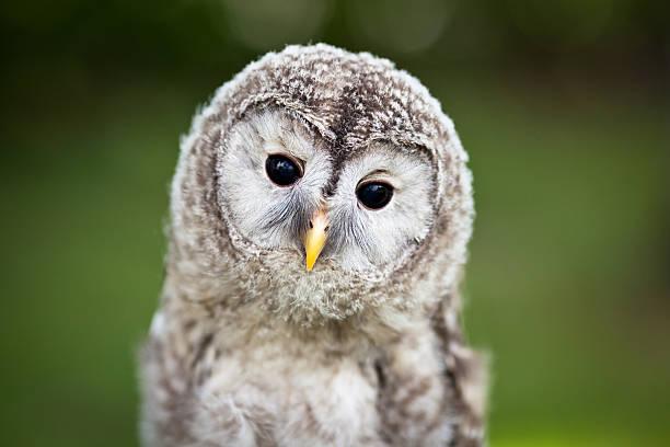 Close up of a baby tawny owl picture id135109933?b=1&k=6&m=135109933&s=612x612&w=0&h=pqpovpryhtvjo5ie8kp efchclymqe8kxqwnpqw6xts=