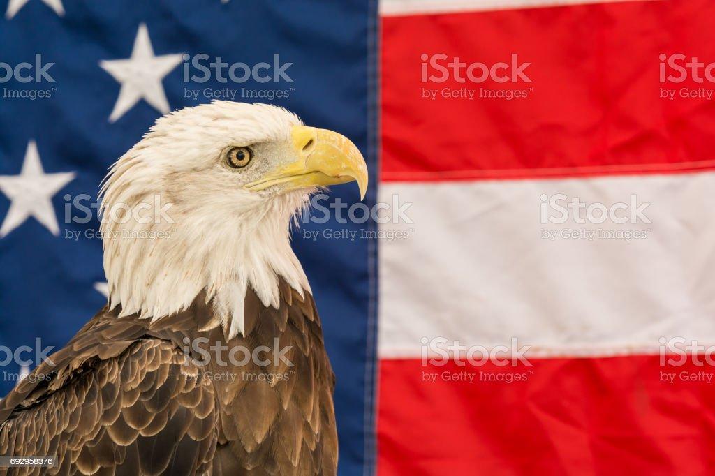A close up of a Bald Eagle stock photo