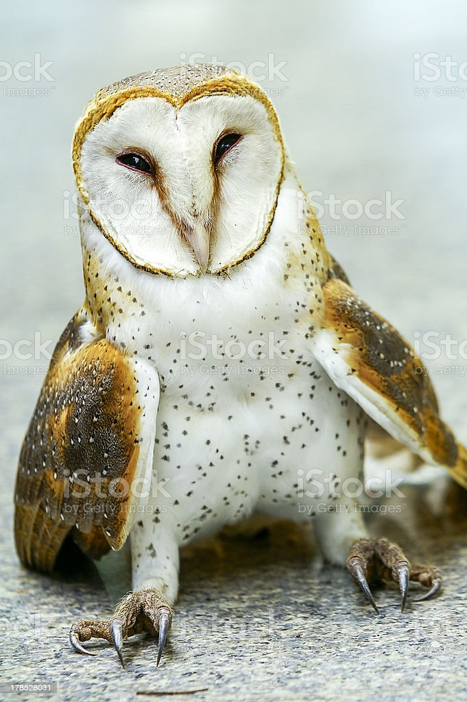 Close up of a Barn Owl royalty-free stock photo