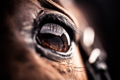 Detailed macro shot of a horse's eye. The horse has a brown color and the cilia / lashes are well visible. Front view on the horse's head, so the eye is seen from the side.