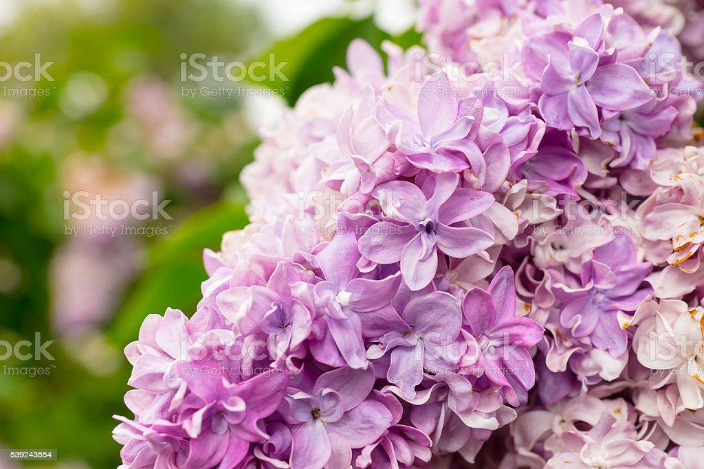 Acercamiento de un hermoso lirio de flores foto de stock libre de derechos