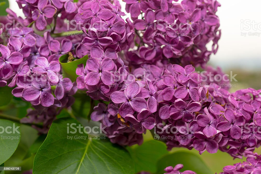 Close up of a beautiful purple lilac flowers royalty-free stock photo
