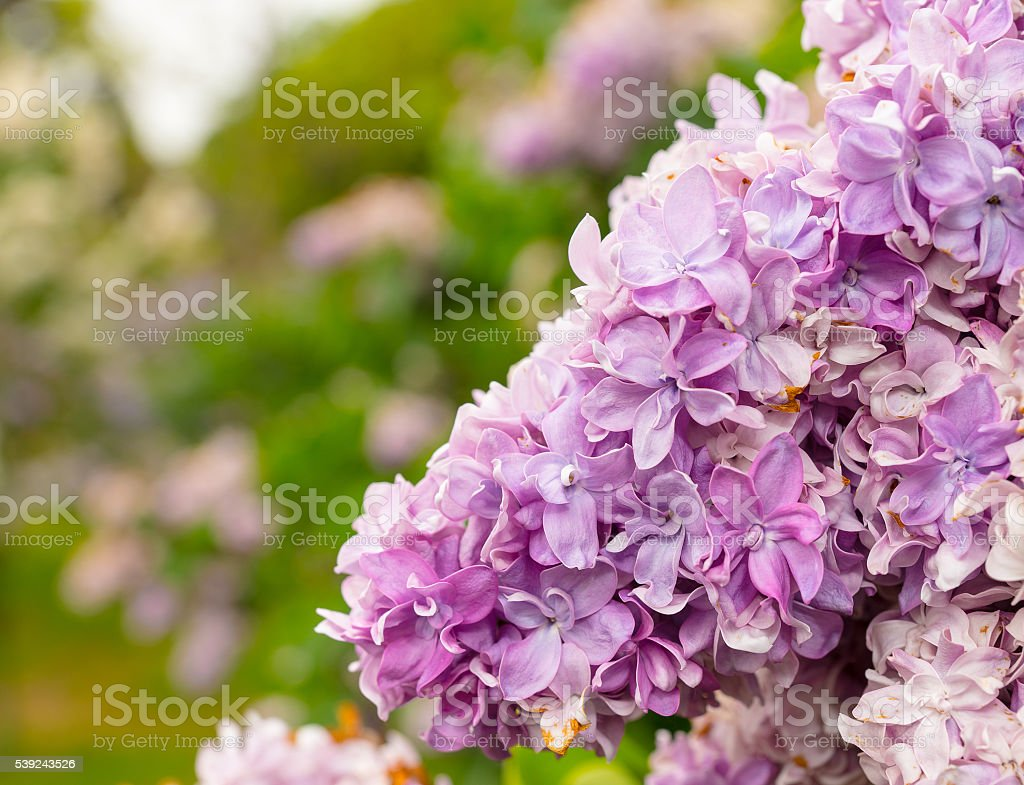 Close up of a beautiful spring lilac flowers royalty-free stock photo