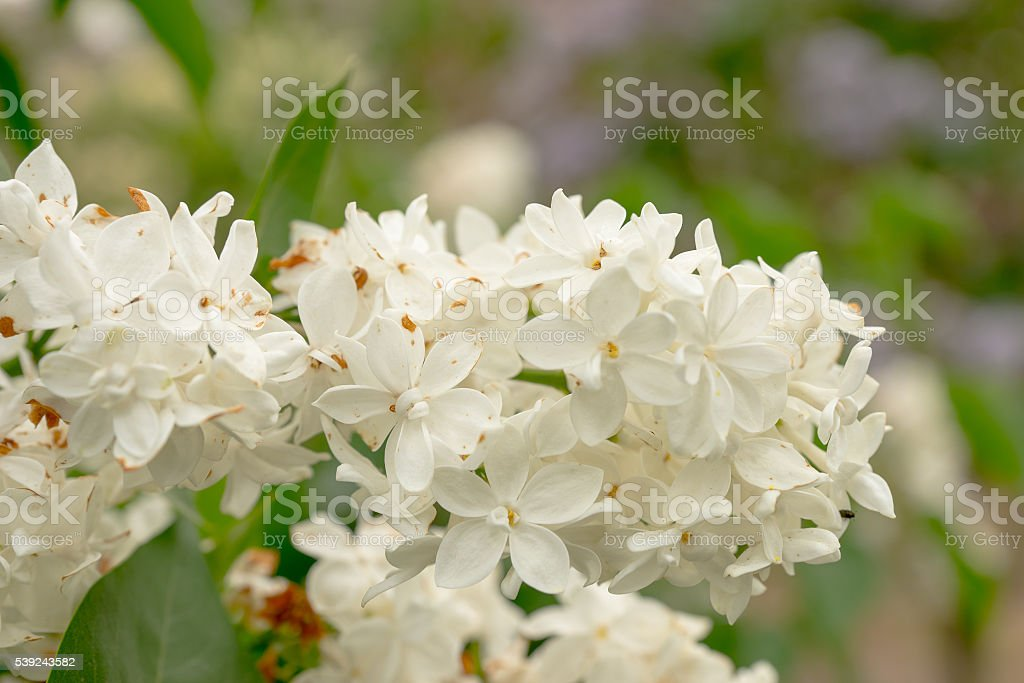 Close up of a beautiful white lilac flowers royalty-free stock photo