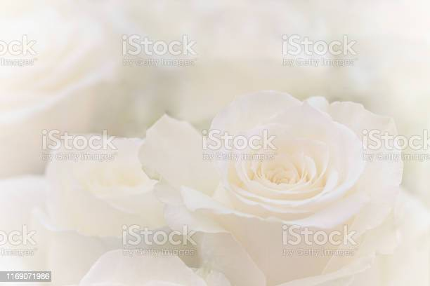 Close up of a beautiful white rose picture id1169071986?b=1&k=6&m=1169071986&s=612x612&h=qkubx7it9hnbnb8foqyztwbvsbrmrnhck tvjhxr34e=