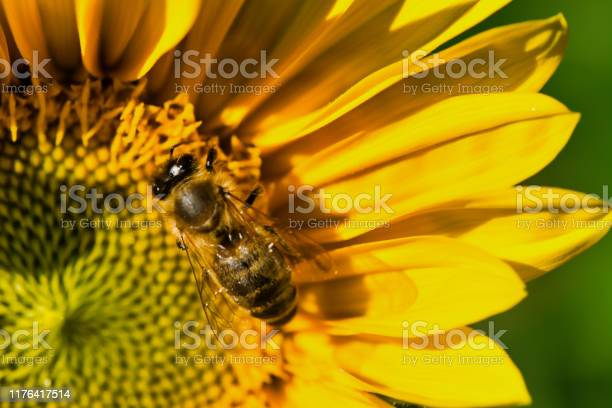 Photo of close up of a bee collecting pollen in a sunflower