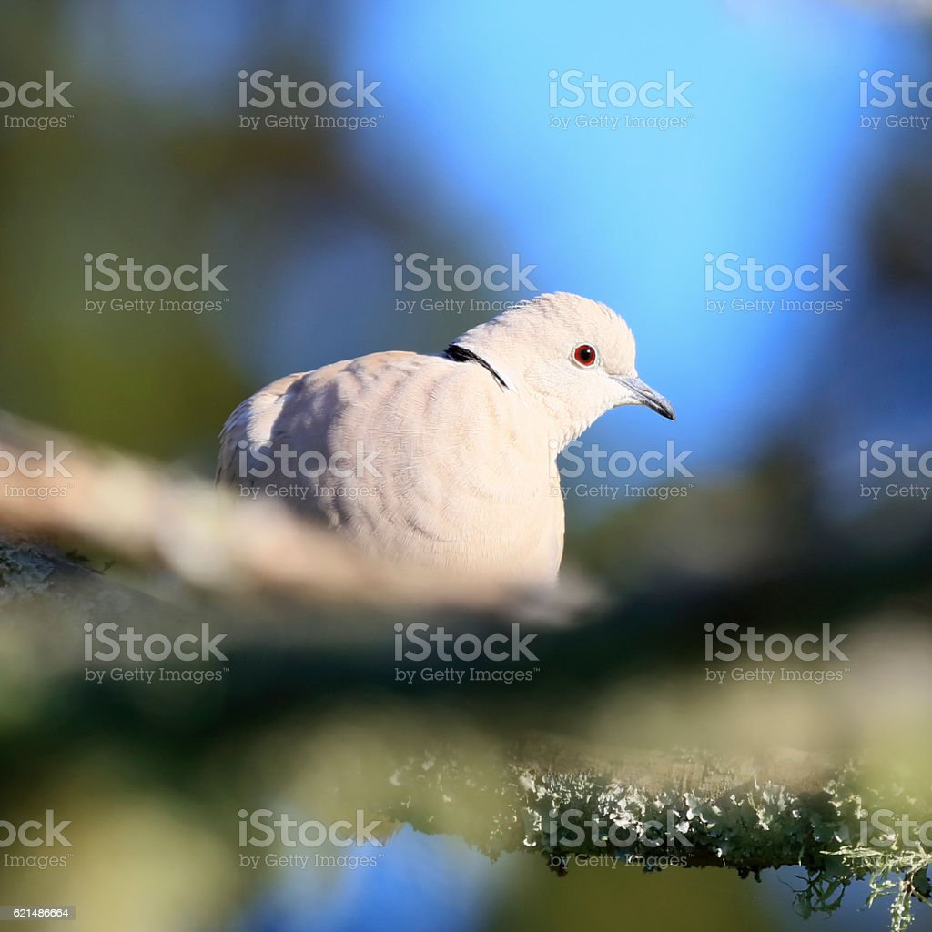 Close up of a beige coloured, black ring necked dove photo libre de droits