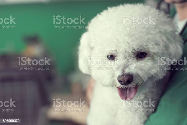 Close up of a bichon dog picture id826999372?b=1&k=6&m=826999372&s=612x612&h=z86f61rdyjdb c4xy7mlihfae9xqiwyuqovwb5xaqtq=