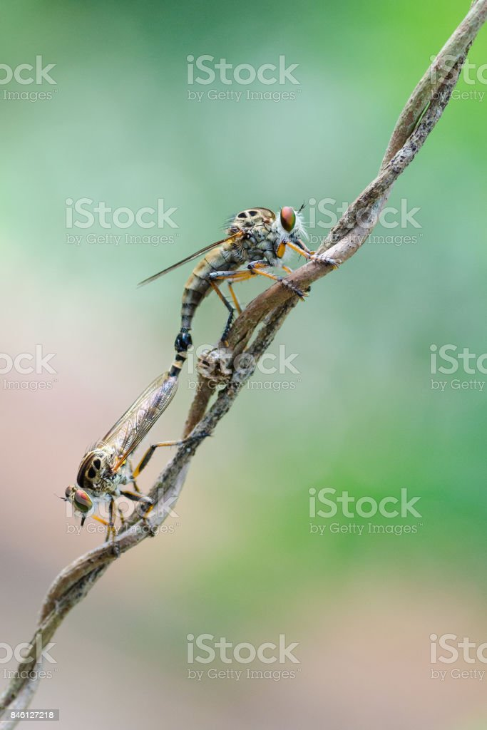 close up of a big eyes mosquito like insect stock photo