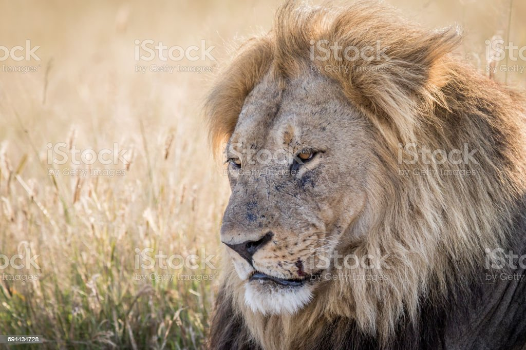 Close Up Of A Big Male Lion In Chobe Stock Photo - Download