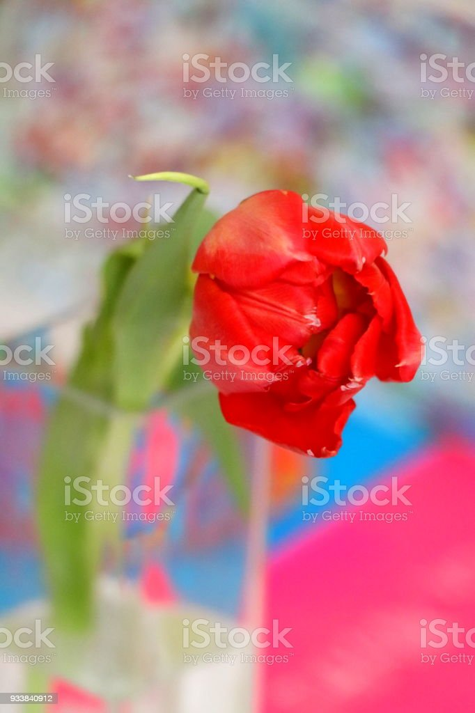 Close up of a big single red velvet tulip. stock photo