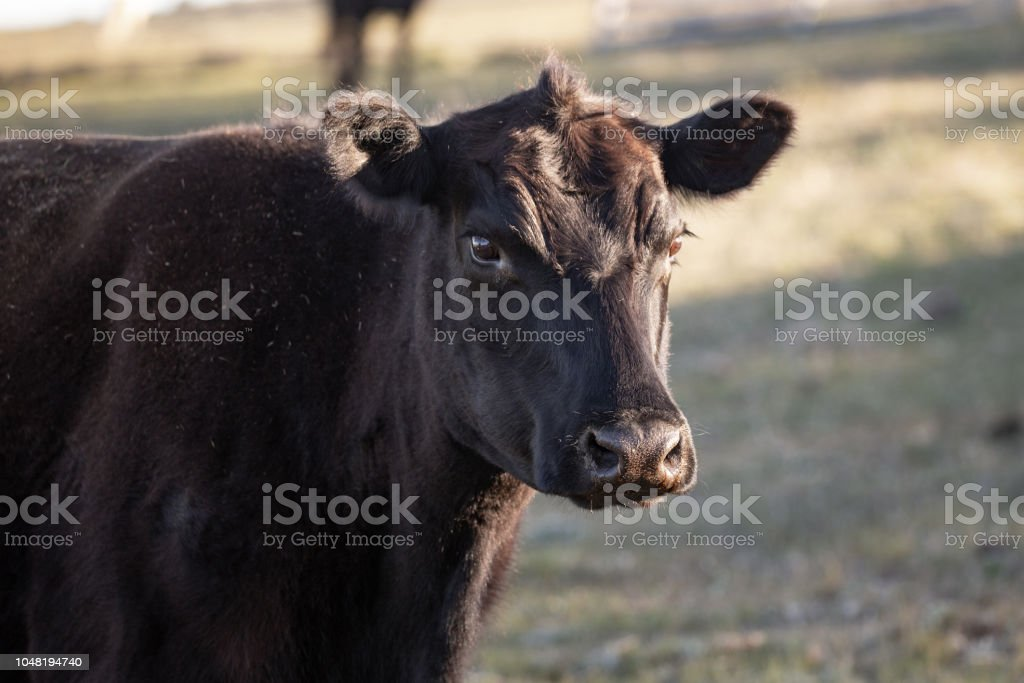Close up of a black angus cow with grass in background stock photo