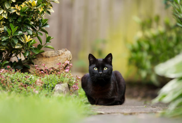 Close up of a black cat lying in the garden Close up of a black cat lying in the garden, UK. black cat stock pictures, royalty-free photos & images