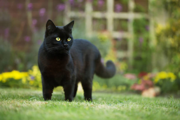 Close up of a black cat on the grass in the back yard picture id941473134?b=1&k=6&m=941473134&s=612x612&w=0&h=pme6hm7bupn9qsldhswijmsxxz4gcok4xucpcmg 9yw=