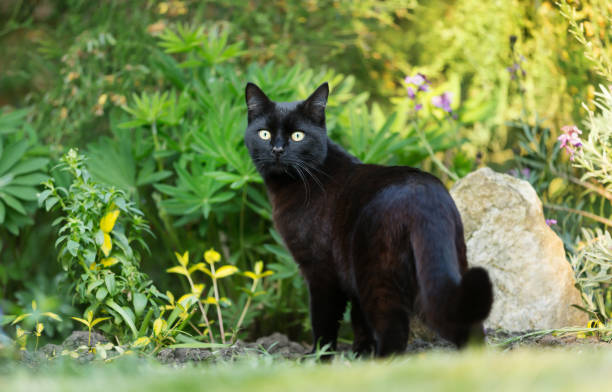 Close up of a black cat on the grass in the garden picture id1161246367?b=1&k=6&m=1161246367&s=612x612&w=0&h=plvqhscaqunhieqoa40i0urba7leeht162m4vvsnsv4=