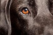 Close up of a black labradorhttp://bit.ly/16Cq4VM