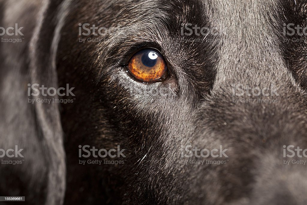 Close Up of a Black Labrador stock photo