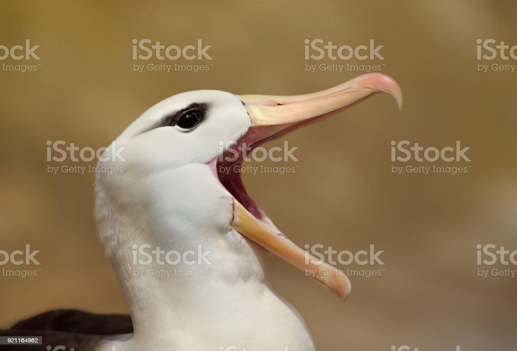 Nahaufnahme von Black-browed Albatross Berufung – Foto