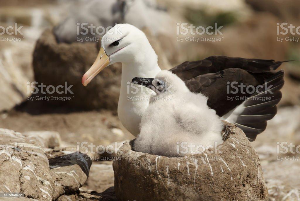 Nahaufnahme von einem Black-browed Albatros mit einem Küken im Nest sitzen – Foto