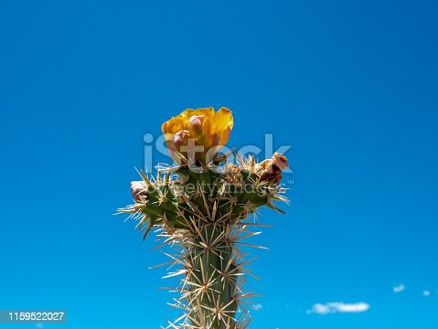 Close up of a blooming cholla cactus, Cylindropuntia sp., with lots of blue Nevada desert sky