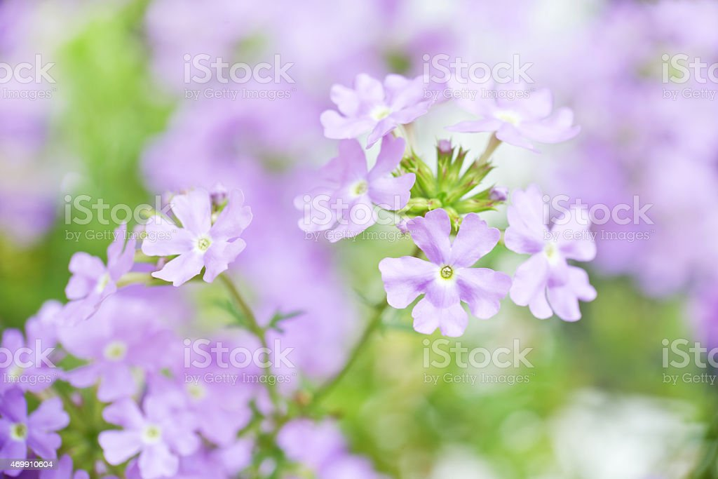 Close up of a blue verbena flower stock photo