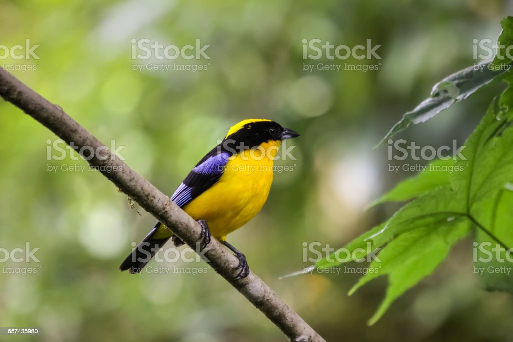 Close up of a Blue winged tanager on a branch with bokeh background stock photo